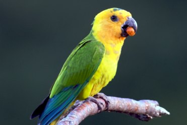 Brown-Throated Parakeet – Stinapa Bonaire National Parks Foundation